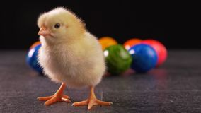 Yellow newborn chicken standing in front of colorful dyed easter eggs. Cheeping - springtime holiday concept, close up, static camera stock video