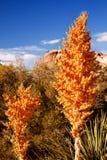 Yellow Nolina Beargrass Blossums Hidden Valley Stock Photos
