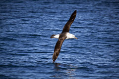 Yellow-nosed Albatross in Flight, Soaring Over Sea. Yellow-nosed Albatross Soaring in Flight, Close-up Stock Images