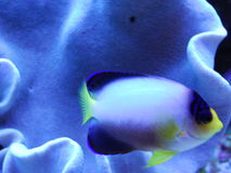 Yellow nosed fish. A yellow nosed salt water fish Stock Photos