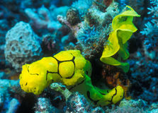 Yellow Nudibranch and Egg Ribbon. A yellow Nudibranch, Minor notororis, slowly crawls over the colorful reef away from it's yellow egg ribbon attached to the Stock Images