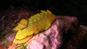 Yellow nudibranch  Galapagos island stock video