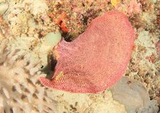 Yellow nudibranch on pink fan coral. On coral reef in Raja Ampat, Papua Barat, Indonesia stock image