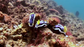 Yellow nudibranchs on the reef in search of food. stock video