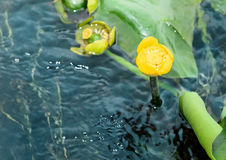 Yellow Nuphar lutea flower Stock Images