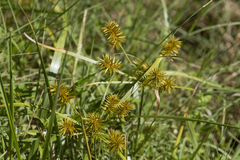 Yellow Nutsedge Nutgrass - Cyperus esculentus Stock Images