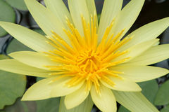 Yellow Nymphaea Royalty Free Stock Images