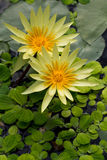 Yellow Nymphaea I Royalty Free Stock Photography