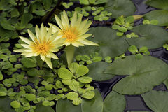 Yellow Nymphaea IV Royalty Free Stock Image