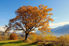 Yellow oak. A backlit oak in autumn Stock Photo