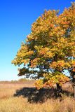 Yellow oak Royalty Free Stock Photo