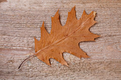 Yellow oak leaf Stock Photography