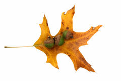 Yellow oak leaf and acorns Stock Photos