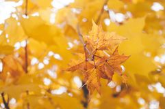 Yellow Oak Leaf Close-up Photography Stock Photography