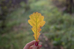 Yellow oak leaf in fingers girl Royalty Free Stock Images