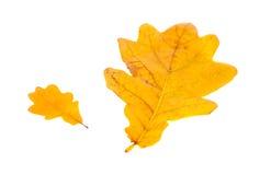 Yellow oak leaf isolated Stock Image