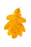 Yellow oak leaf isolated Stock Photography