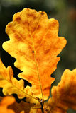 Yellow oak leaf Royalty Free Stock Images