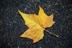 Yellow Oak Leaf on Wet Road. In perfect shape Royalty Free Stock Photography
