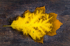 Yellow oak leaf on wooden background Stock Photography