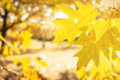 Yellow Oak Leaves in Autumn. Backlit bright yellow oak leaves in the forest with intense sunlight Stock Images