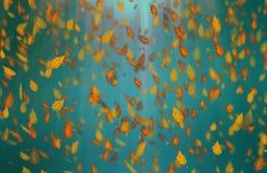 Yellow oak leaves autumn blue turquoise background. Yellow falling oak leaves autumn brown turquoise background stock photo