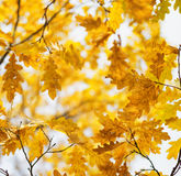 Yellow oak leaves in fall season Stock Photo