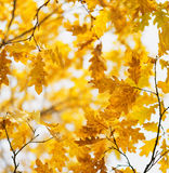 Yellow oak leaves in fall season Stock Photography