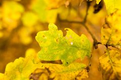 Yellow oak leaves in the fall Royalty Free Stock Images