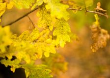 Yellow oak leaves in the fall Royalty Free Stock Image