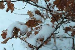Yellow oak leaves, snow, tree, winter. stock photos