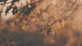 Yellow oak leaves sunset. Autumn landscape, sunny. Trees in the park stock video footage