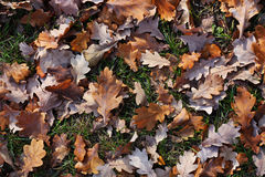 Yellow oak's leafs. On a green grass Stock Image
