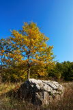 Yellow oak tree Royalty Free Stock Photography