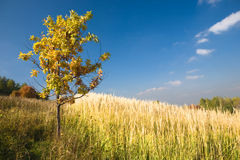 Yellow oak tree in a field Royalty Free Stock Photography