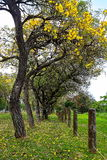 Yellow Oak Tree. Flowering of Yellow Oak Tree in Bayamon, Puerto Rico Stock Photos