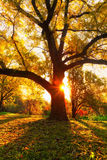 Yellow oak tree and natural sun beams Stock Image