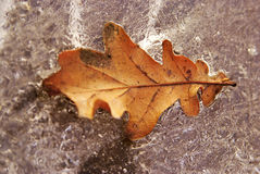 Yellow oalk leaf in ice.  royalty free stock photo