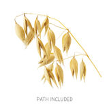 Yellow oat head isolated on white background. Yellow oat head path included isolated on white background as package design element Stock Images