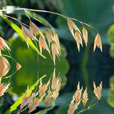 Yellow oats spikes reflecting in calm water. Yellow Oats spikes in summer on green natural background reflecting in calm water Stock Image