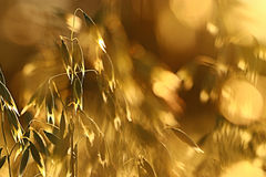 Yellow oats at sunset Royalty Free Stock Photography