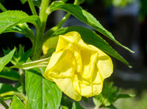 Yellow Oenothera glazioviana flower Royalty Free Stock Images