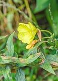 Yellow Oenothera glazioviana flower, a species of flowering Stock Photos