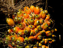 Yellow oil palm fruits ready for harvesting Royalty Free Stock Images