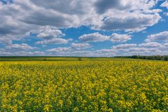 Yellow oil rape seeds in bloom. Field of rapeseed - plant for green energy. Royalty Free Stock Image