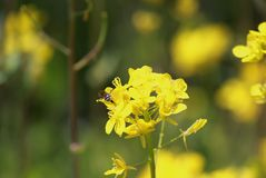Yellow oil seed flowers in the field, country side stock photos