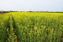 Yellow oil seed stock photos