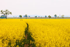 Yellow oilseed Stock Photos