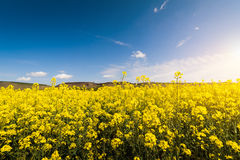 Yellow Oilseed Field Under The Blue Bright Sky Royalty Free Stock Photo