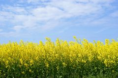 Yellow oilseed rape Stock Images